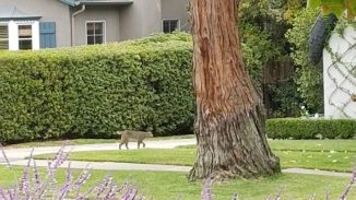 The bobcat walking down the neighbor's driveway. He's very easy to see against the white driveway. Taken at 11:57:11.