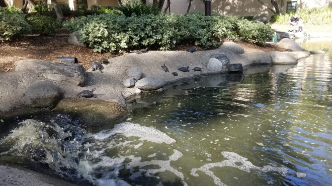 view of turtle pond with paved banks where turtles are sunning themselves
