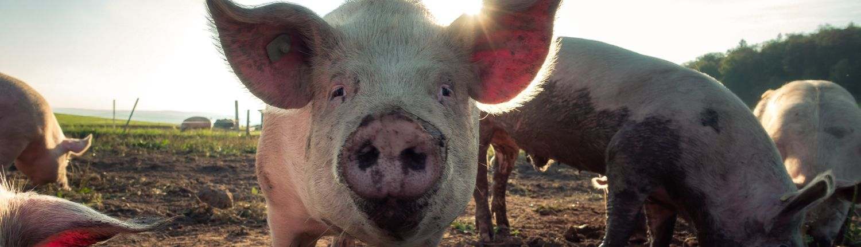 porc cu ruj