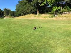 Rare baby turkey sighting!