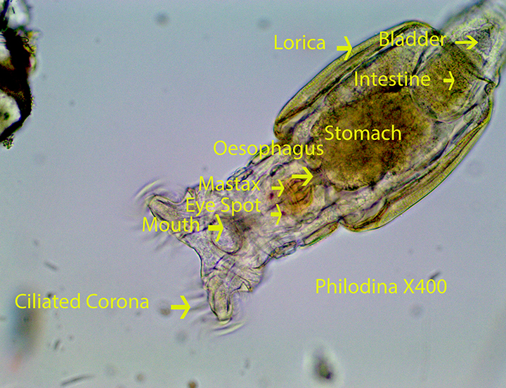 Bog Invertebrates: Protozoans, Platyhelminthes