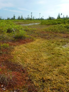A Sphagnum lawn surrounded by higher hummocks