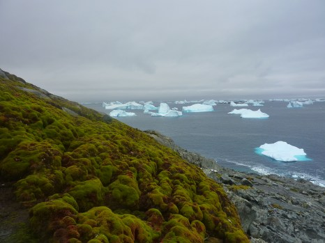 Moss bank in the Antarctic Peninsula