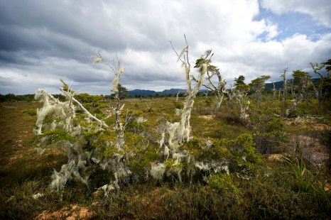Lichens growing on bog shrubbery in unpolluted Patagonia (Photo: Dmitri Mauquoy)