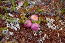 Gaultheria mucronata, or 'chaura' as it is known in Spanish, growing in Patagonia