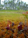 Purple pitcher plant in a sea of Sphagnum