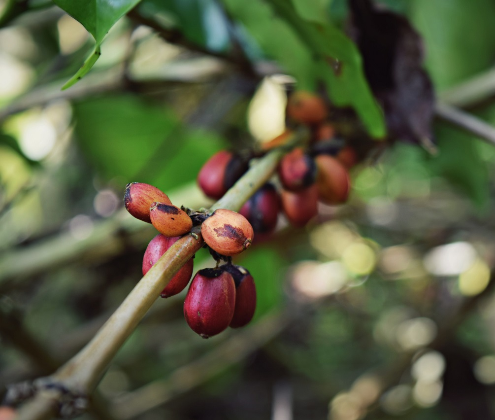 coffee cherries ubud bali