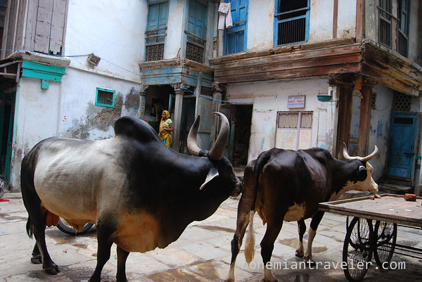 https://i2.wp.com/bohemiantraveler.smugmug.com/Travel/India/Ahmedabad/i-5PzbJFH/0/M/cows%20in%20old%20Ahmedabad-M.jpg