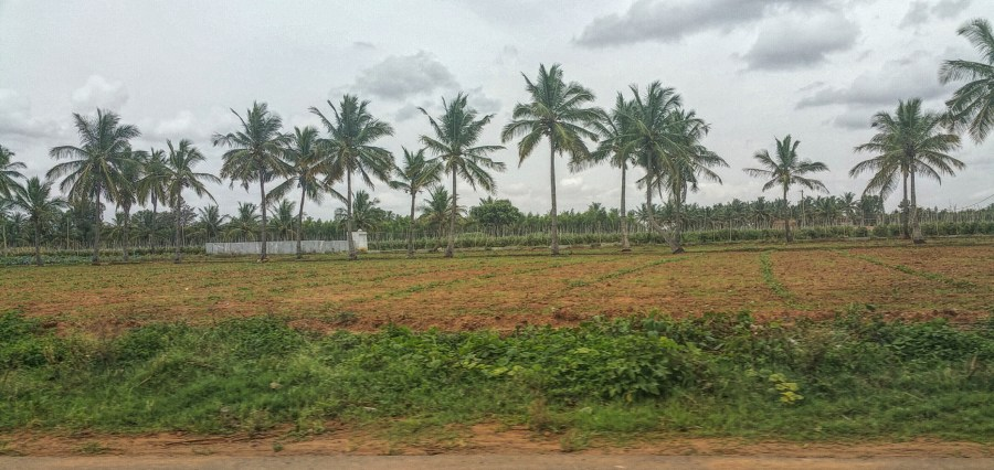 Coconut Trees, India