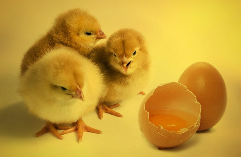 Grandmother always said that if an egg was too fresh you couldn't peel it; she was right but she never knew why, because it was not until the late 1950's that scientist began to discover the reason.