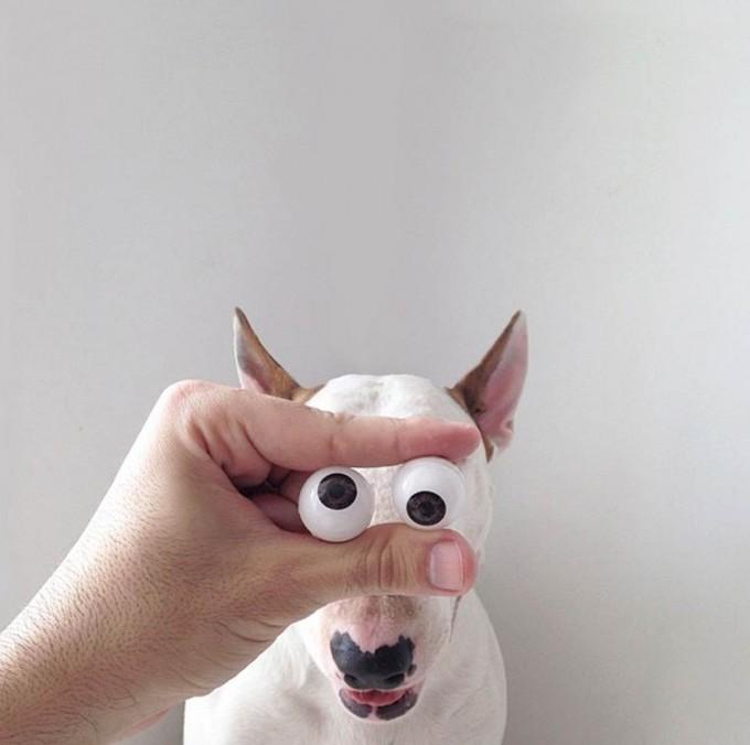 rafael-mantesso-bull-terrier-25