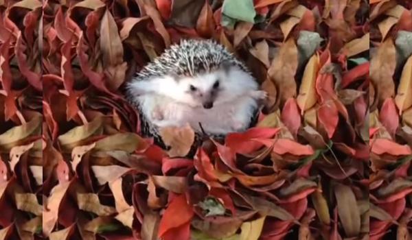 hedgehog4