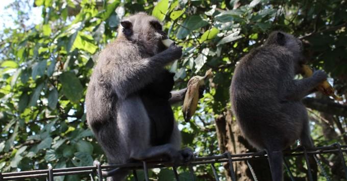 Monkeys eating bananas.