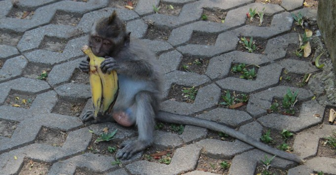 Baby monkey with a banana peel.