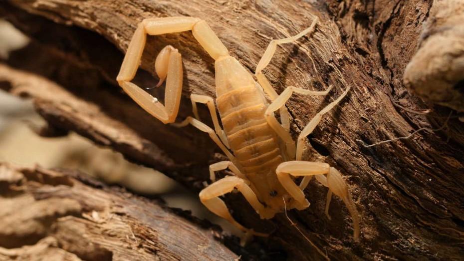 2-AZ-bark-scorpion-on-log-face-down_JCassidy-1440x810