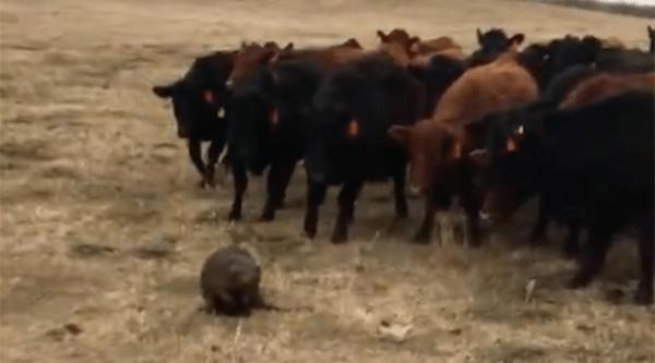 Beaver herds cattle