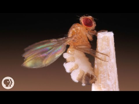 The zombie fruit flies in your kitchen