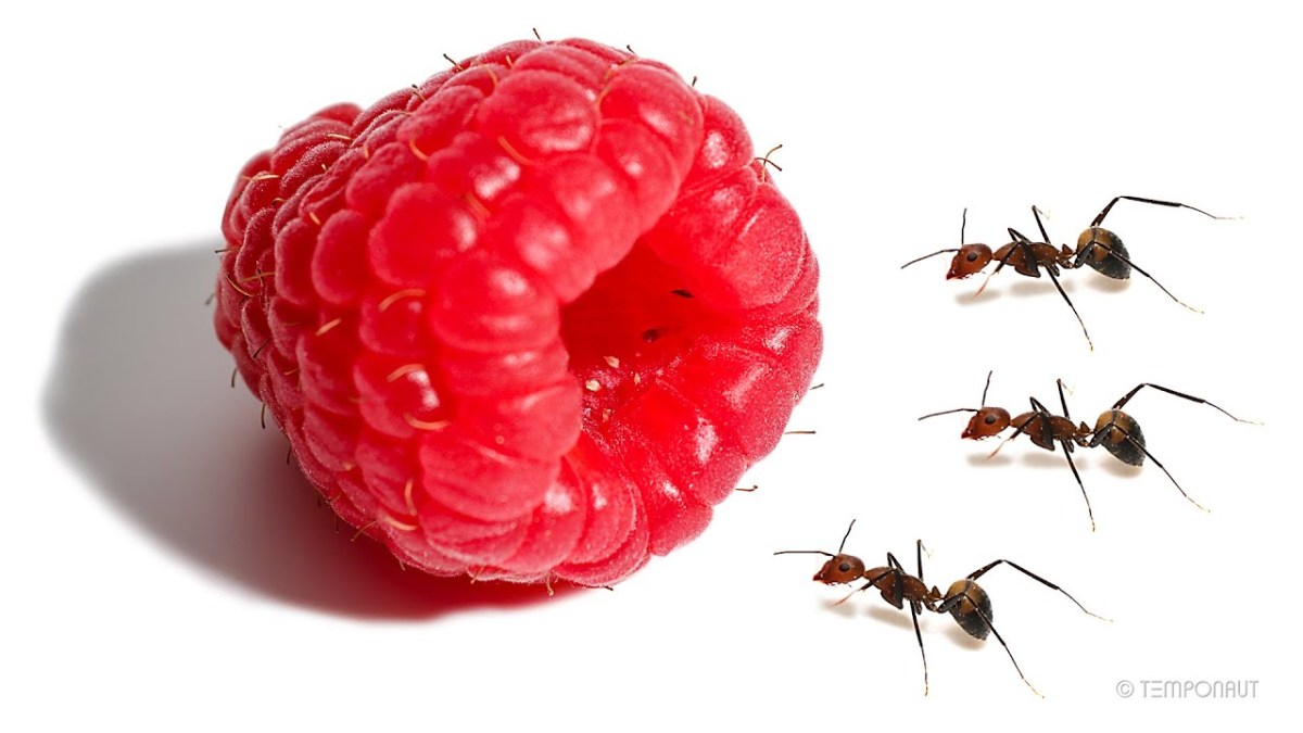 Ants vs. Raspberry: A time-lapse video | Boing Boing