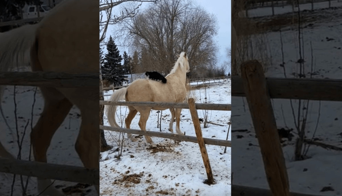 Cat rides horse [VIDEO] | Boing Boing