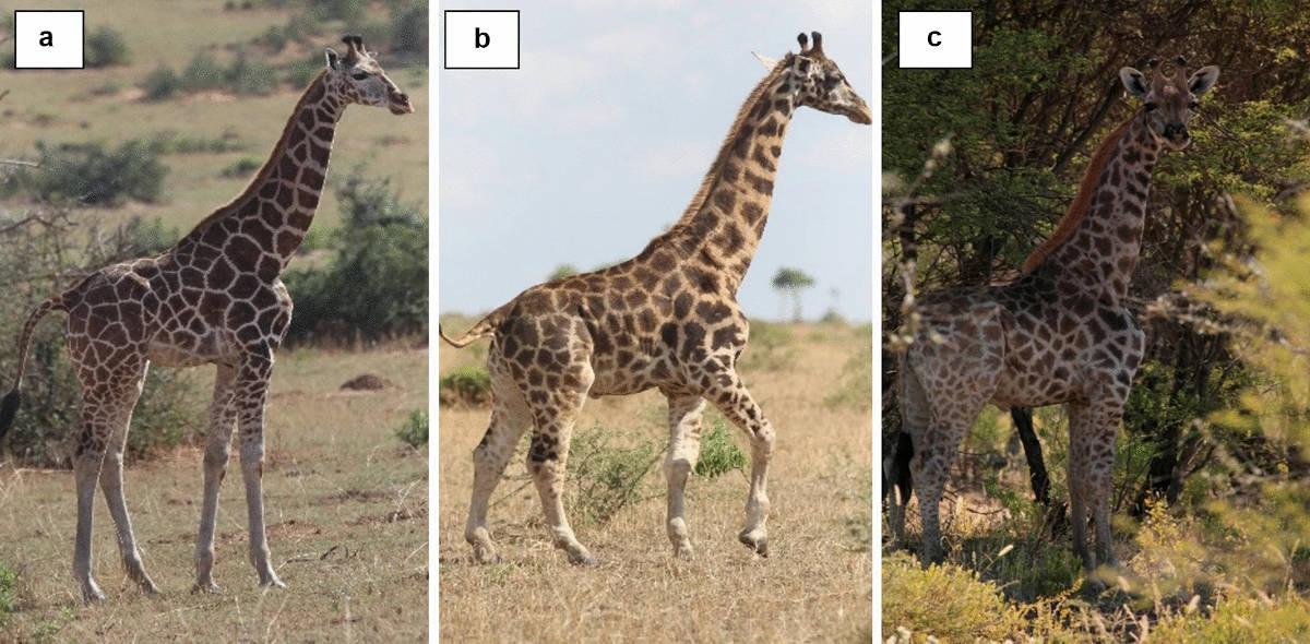 Photo of short giraffes