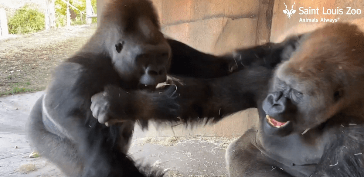 Two half-brother gorillas play and laugh together | Boing Boing