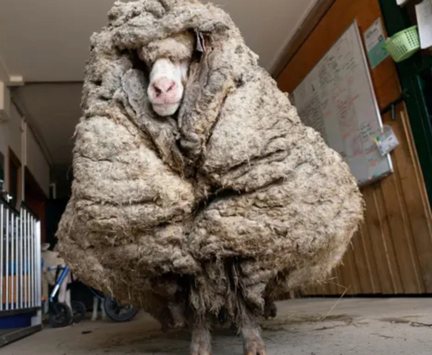 Crazy photo: Wild sheep with insanely overgrown wool sheared of its 78 pound sweater
