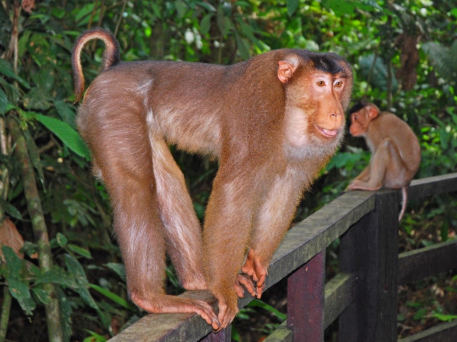 boingboing.net - David Pescovitz - Thousands of monkeys still in forced labor farms