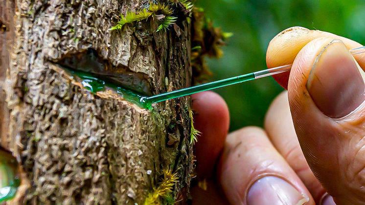 "Green sap being taken from a ""hyperaccumulator"" tree in Borneo, by Antony van der Ent"