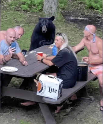 Black bear casually sits with family and enjoys a picnic lunch