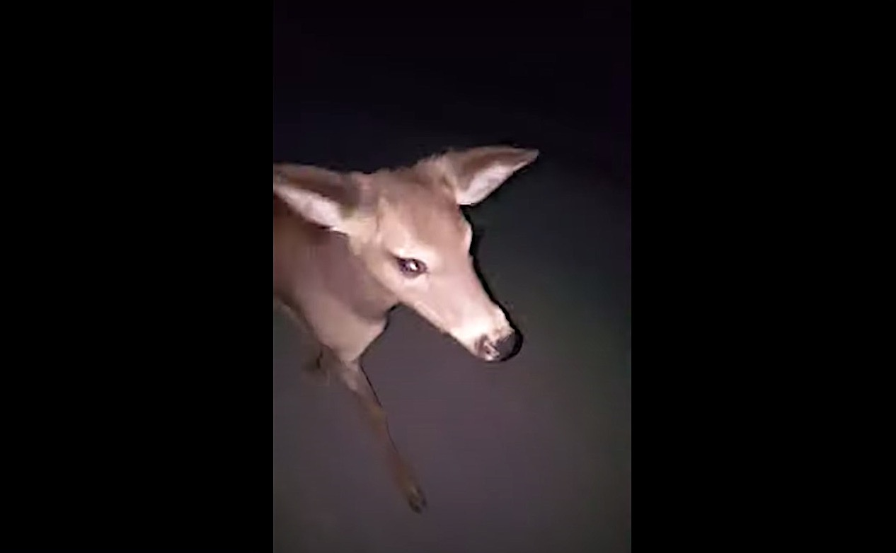 A friendly deer follows a stranded woman for 8 miles as she walks home in the dark
