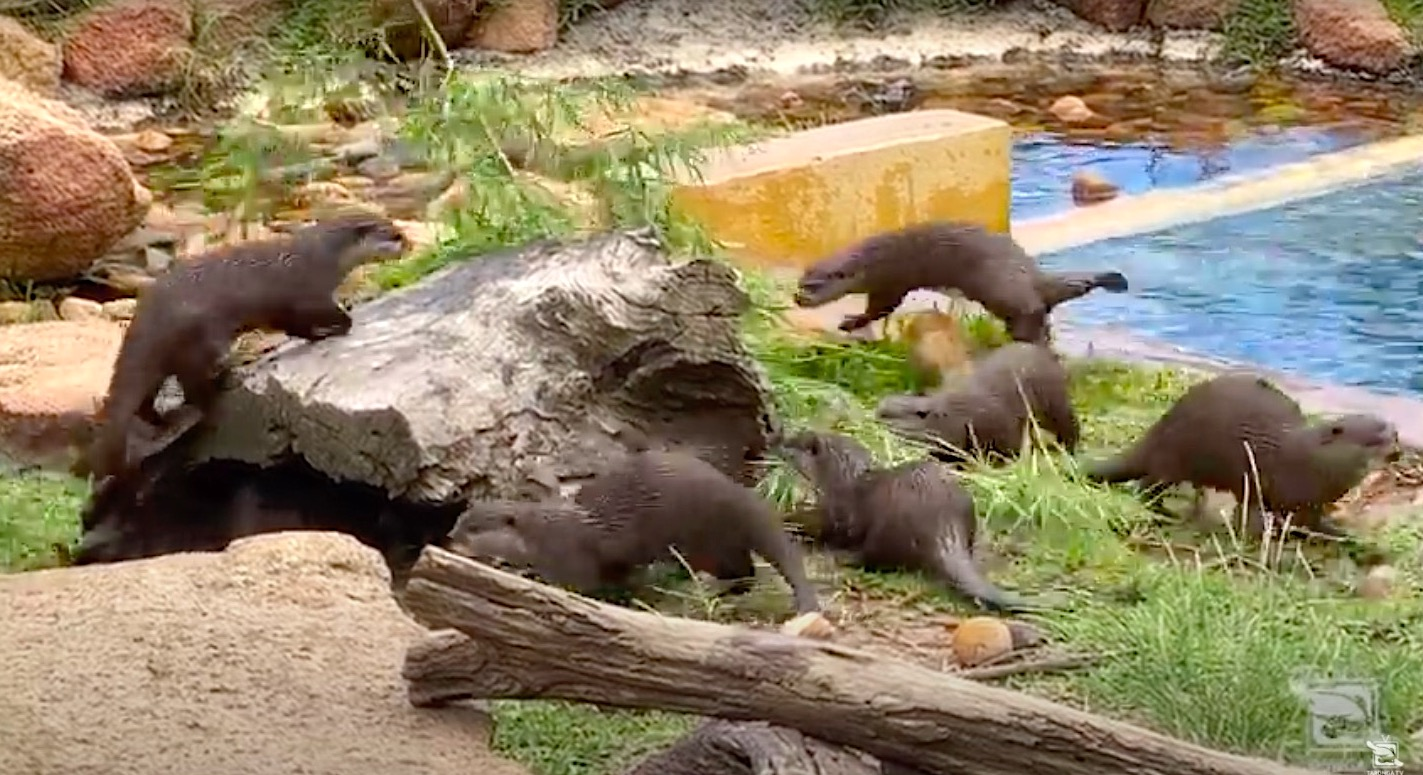 Watch this family of otters go wild over one bamboo branch