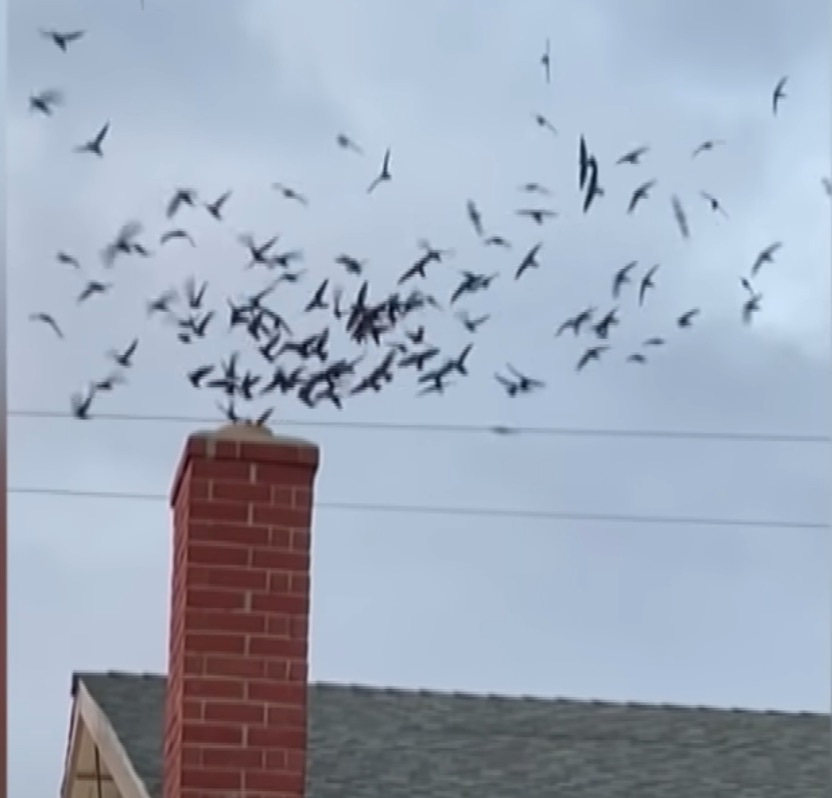 Watch 1,500 birds invade a house through the chimney | Boing Boing
