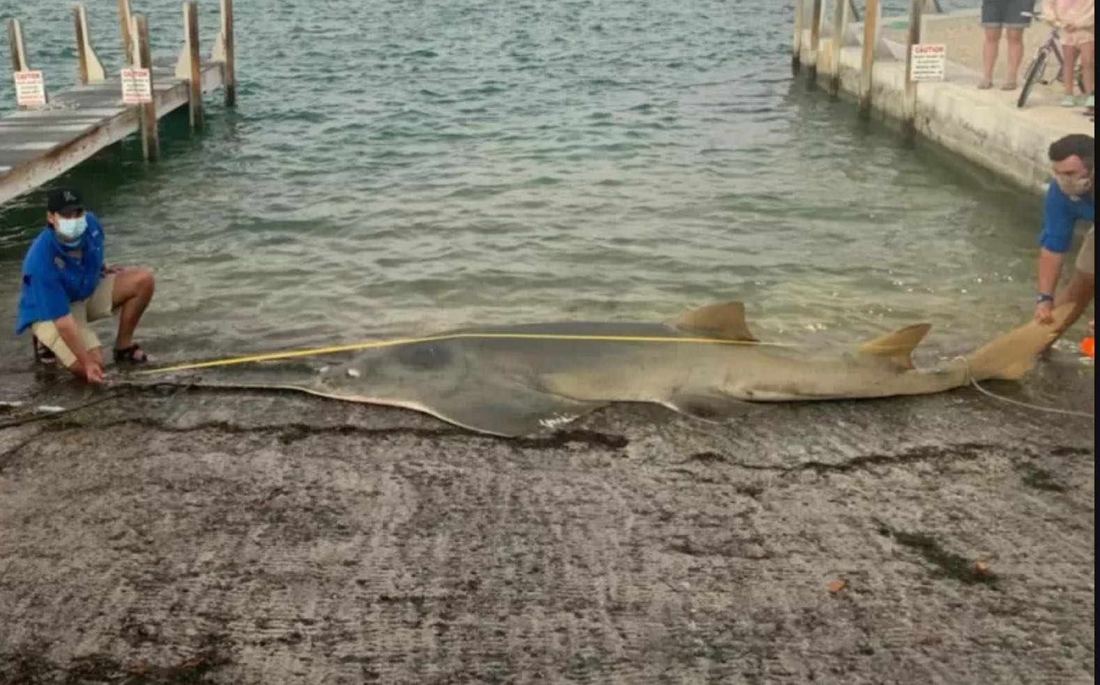 Absolutely massive smalltooth sawfish washed up in Florda