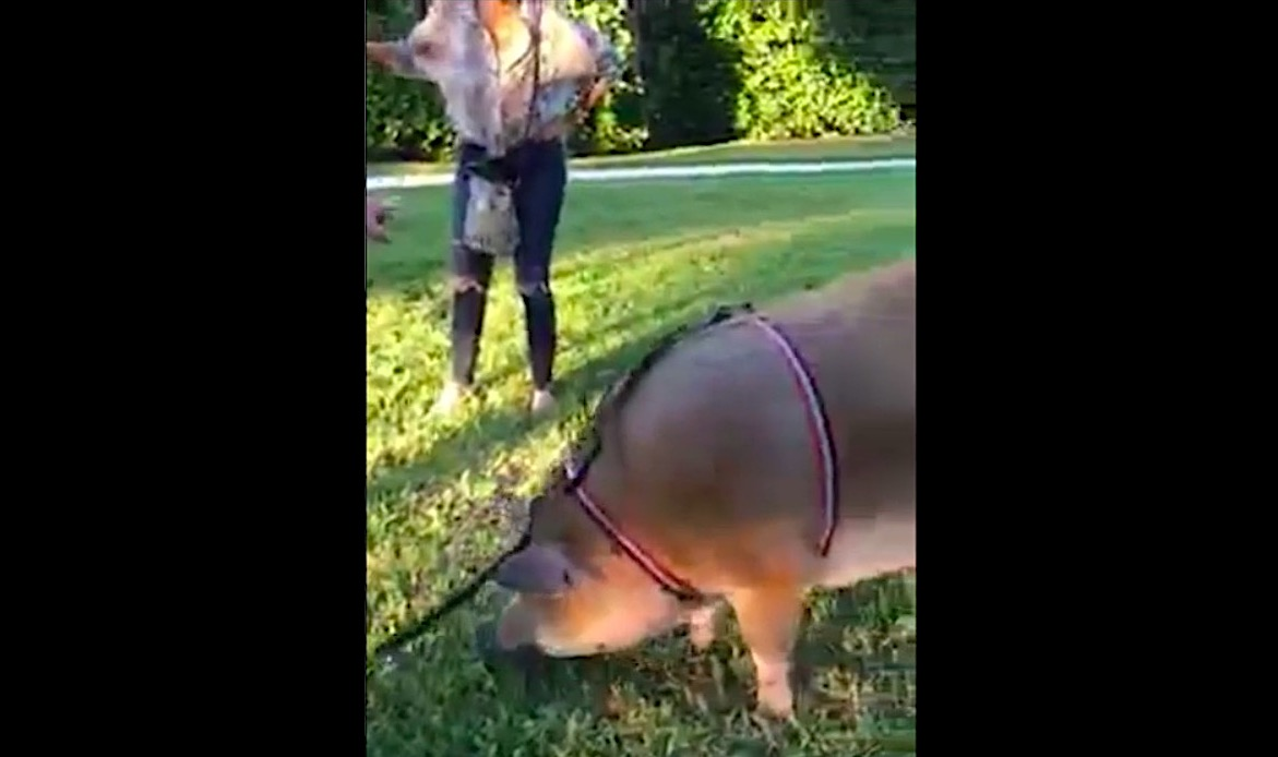 "Bored Karen harasses woman in park for walking a pig on a leash: ""It's huge!"" 