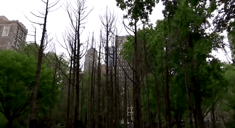 """49 dead trees """"planted"""" in Madison Square Park 