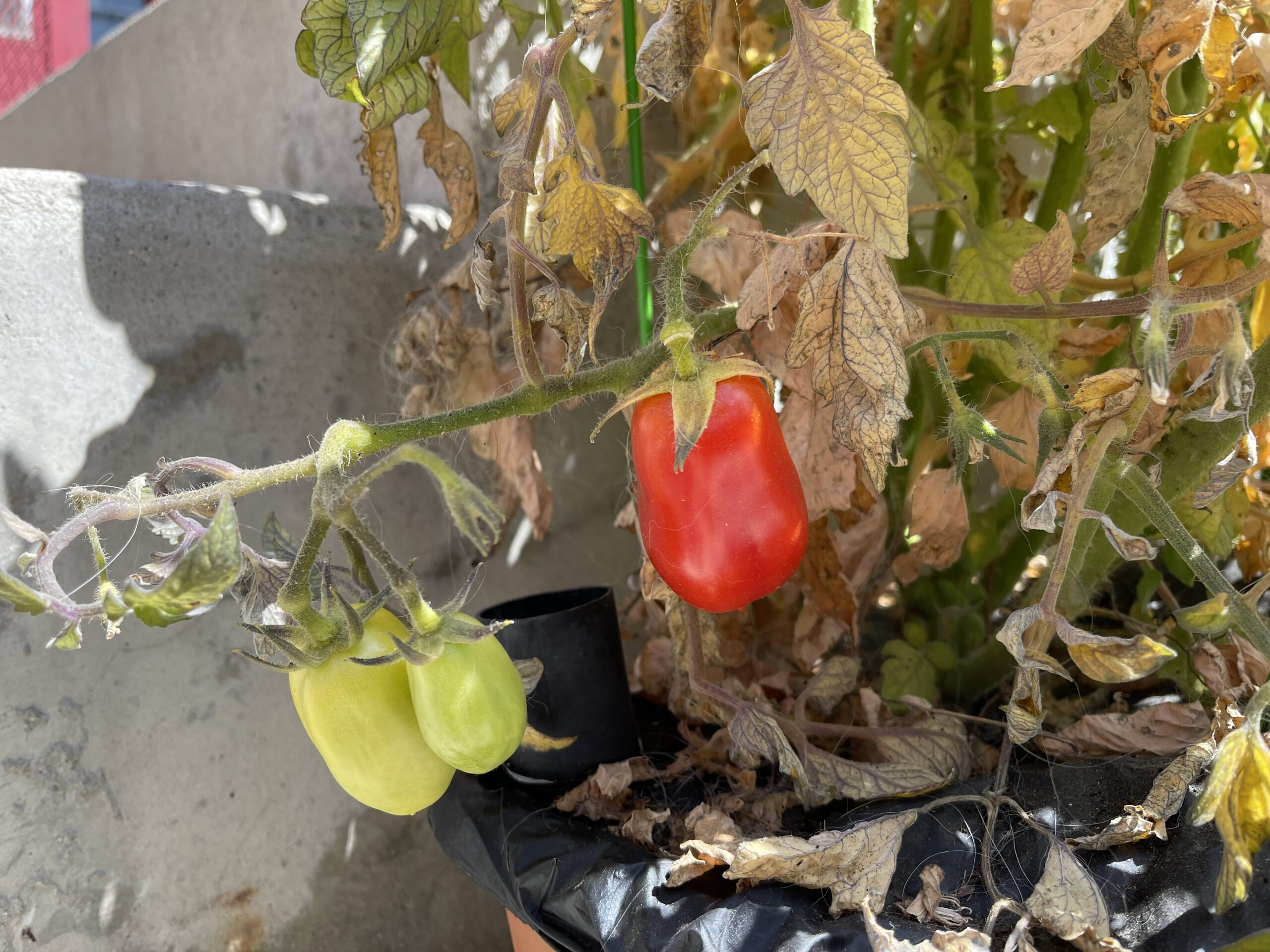 There are more tomatoes in planter boxes and earth, Horatio, than are dreamt of in your philosophy