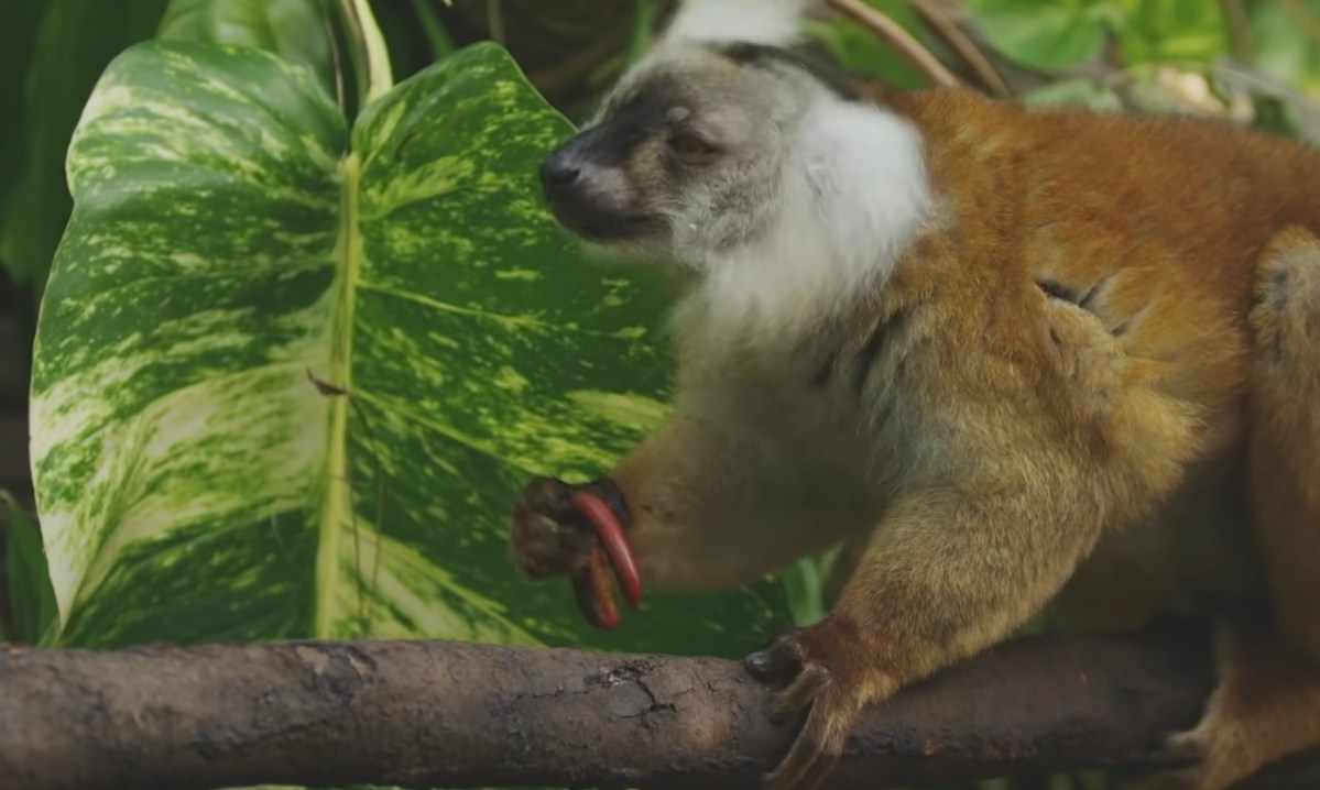 Lemurs get high by licking toxic millipedes and rubbing them on their bodies | Boing Boing