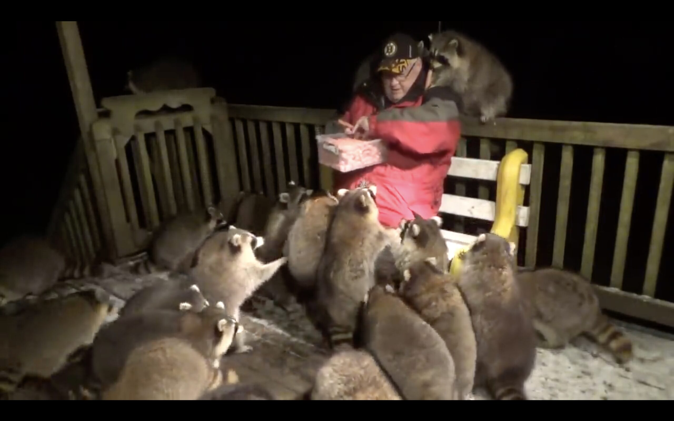 Raccoons in a feeding frenzy crowd around man handing out hot dogs