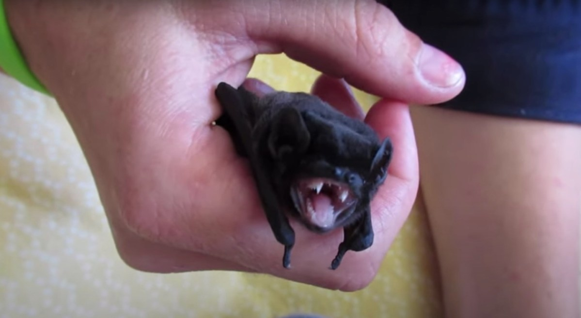 These cute baby microbats are ready for supper
