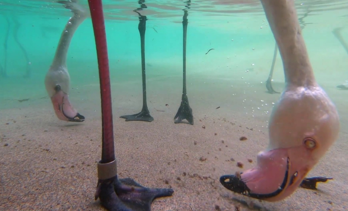 Underwater video of flamingos eating looks like a Pixar movie   Boing Boing