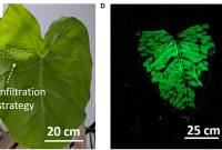Image of plant treated with nanoparticles, glowing in the dark