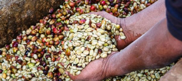 Fermenting Coffee Beans ~ Episode three fermenting coffee