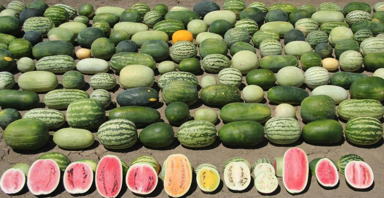 A ciencia tralos segredos de sandías e melóns