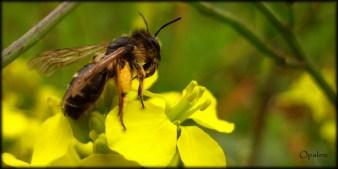 Petite abeille solitaire (Andrène ?)