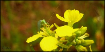 Demoiselle aux yeux d'or (Chrysoperla carnea)