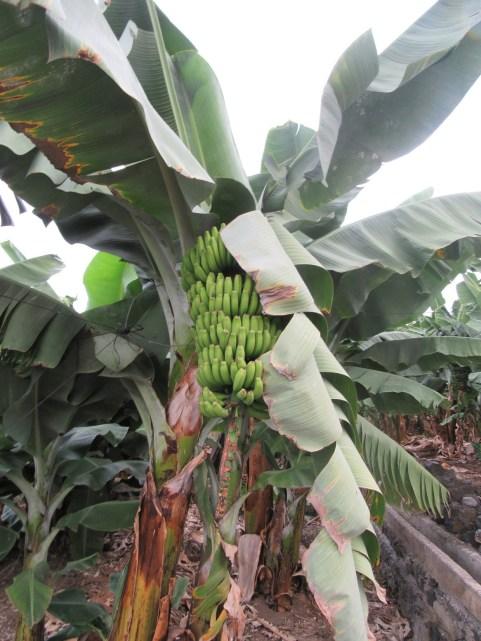 Nasadi banan