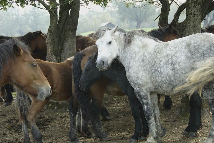 Posavina horses resting in Lonjsko Polje Nature Park.