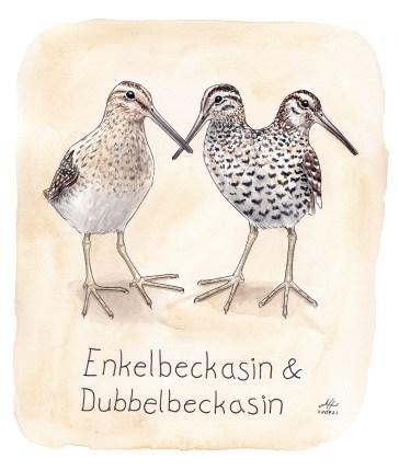 enkelbeckasin och dubbelbeckasin illustration ordvits