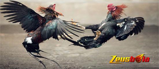 Jenis-jenis Ayam Aduan Terpopuler Di Arena Sabung Ayam