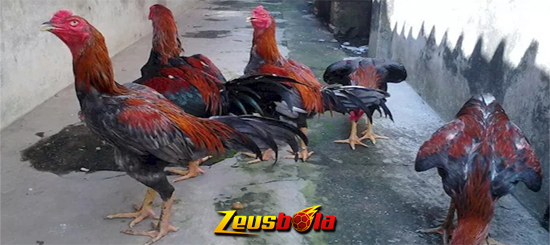 Jenis Ayam Aduan Terbaik